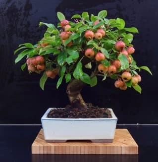 Бонсай яблоня с плодами